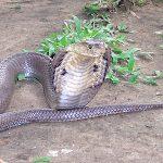 タイコブラの料理はキモうまい!見た目がエグいと調理法とは?