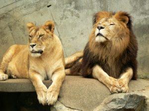 ライオン オスとメス 画像