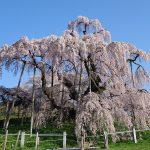 三春の滝桜2017年の見頃はいつ?最新情報と天気予報をチェック!