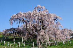 三春の滝桜 画像