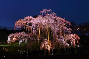 滝桜 ライトアップ 画像
