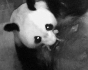 シンシン 赤ちゃん パンダ 画像
