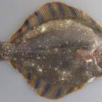 高級魚マツカワガレイってどんな魚?値段はいくら?稚魚の大量死は何が原因?