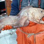 オオカミウオの生態や生息場所は?名前の由来とゴジラみたいな魚の調理法