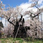 【山高神代ザクラ】開花予想と2018年の見頃は?樹齢2000年の桜はどこ
