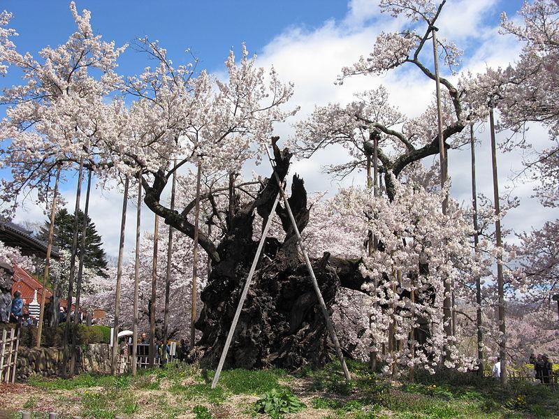 神代桜 樹齢2000年 見頃 開花予想 画像