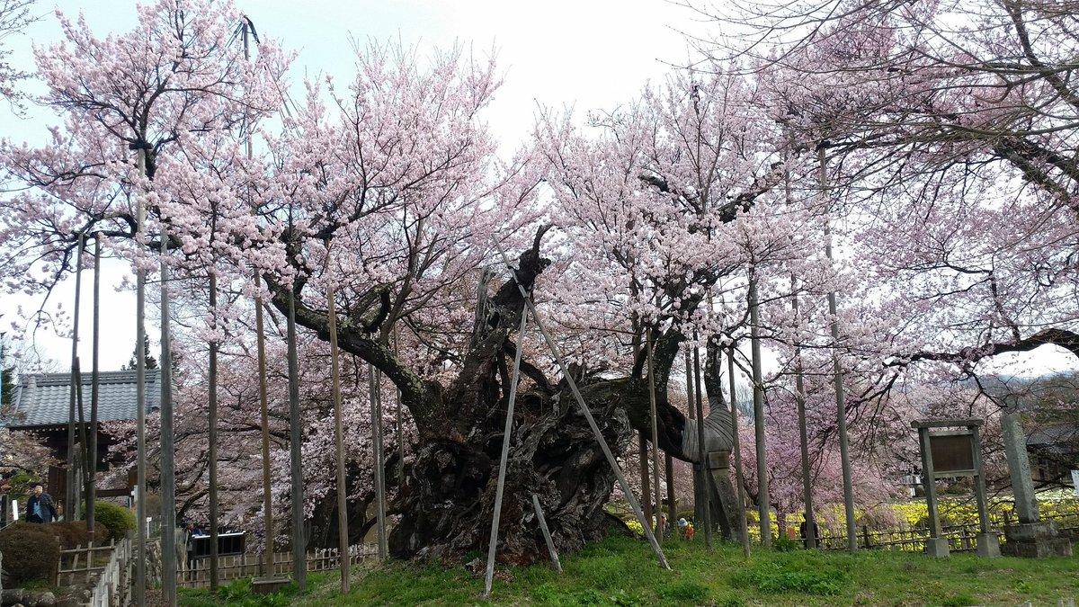 山高神代ザクラ 樹齢2000年 桜 見頃 開花予想 2018 どこ 画像